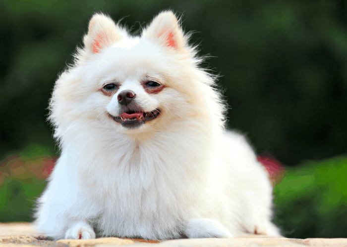 Japanese spitz close up