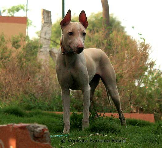 Jonangi dog breed in the garden