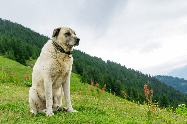 Kangal Sheperd dog on a grassy hill
