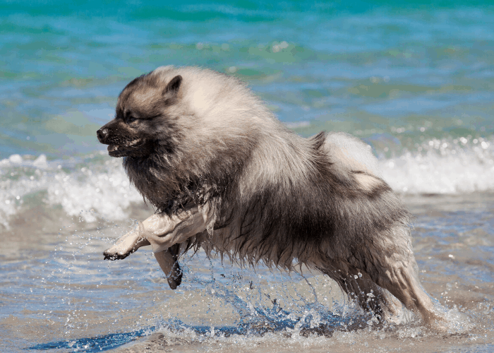 Keeshond playing on the beach