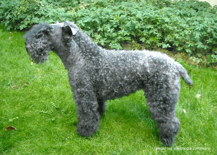 Kerry Blue Terrierdog standing on the lawn side view