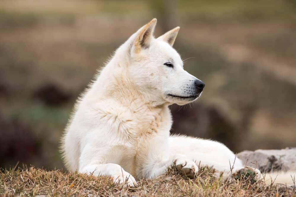 Korean Jindo dog lying on the ground