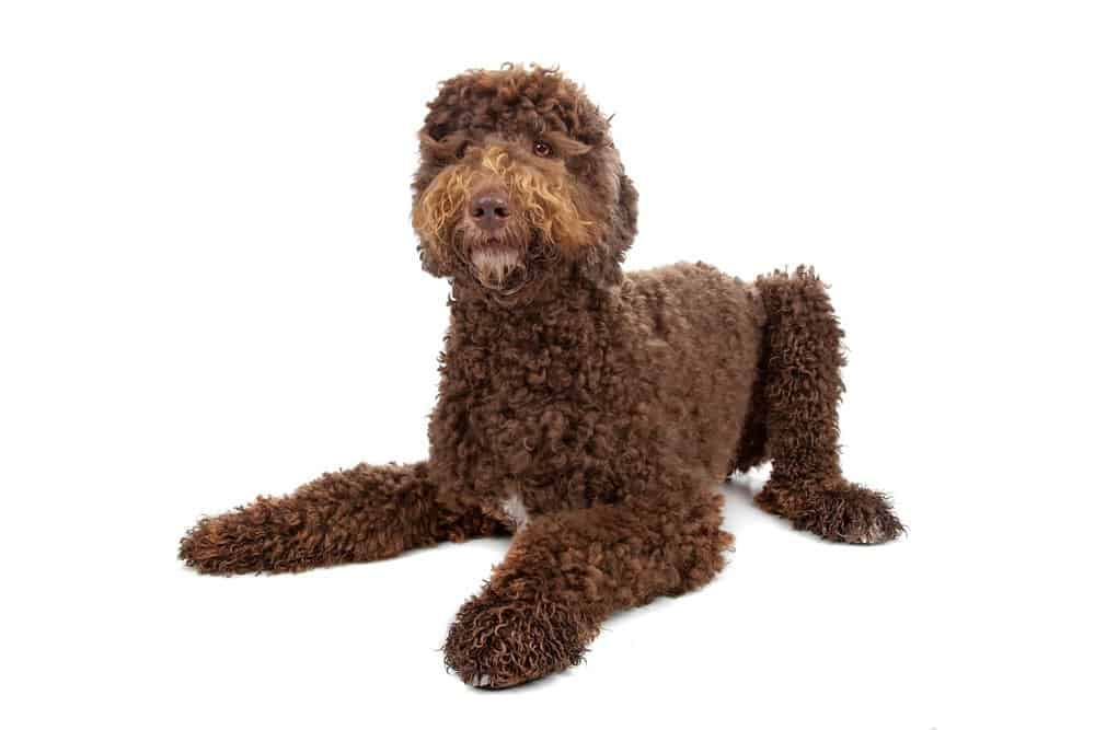 Labradoodle photographed on white background