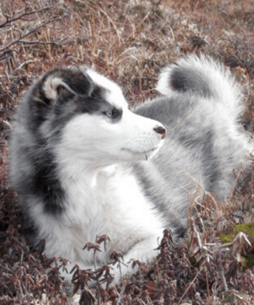 Labrador Husky puppy lying on dried grass