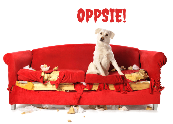 Labrador chewed the red couch out