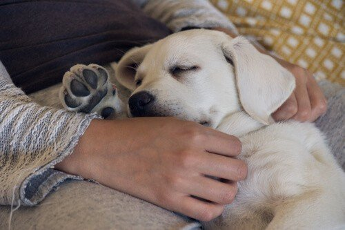 Labrador dog being cuddled by owner