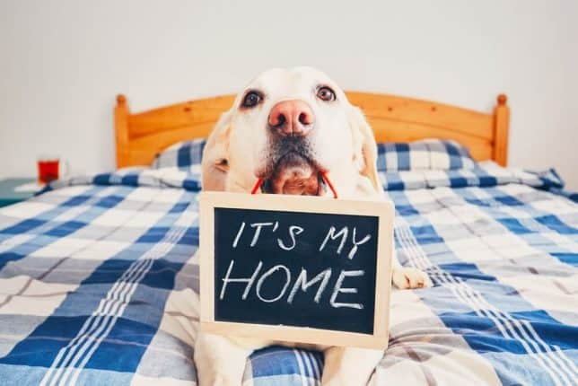 "Labrador holding a ""it's my home"" sign"