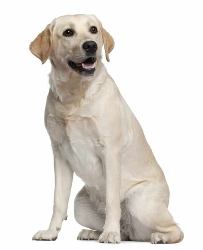 Labrador retriever sitting on a white background