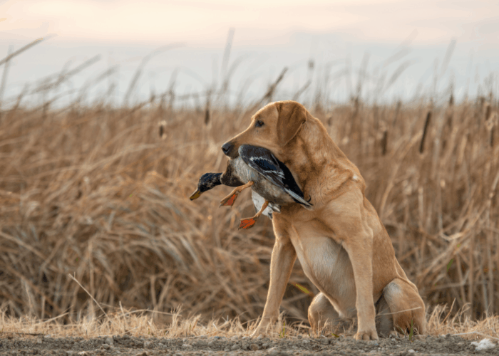 Labrador with a duck in its mouth