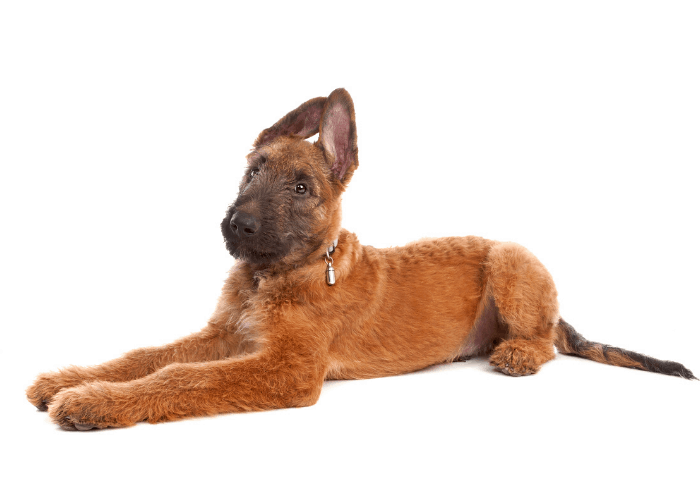 Laekenois puppy in front of white background