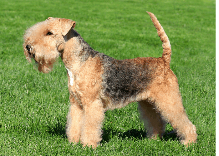 Lakeland Terrier standing on the lawn