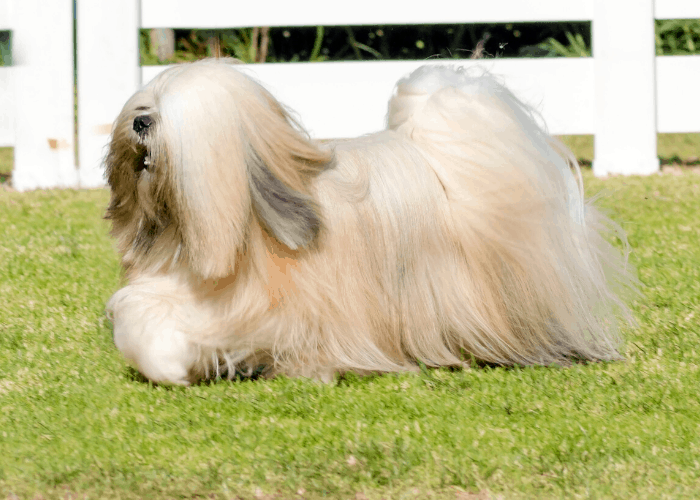 Lhasa Apso on the lawn
