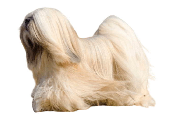 Lhasa Apso on white background
