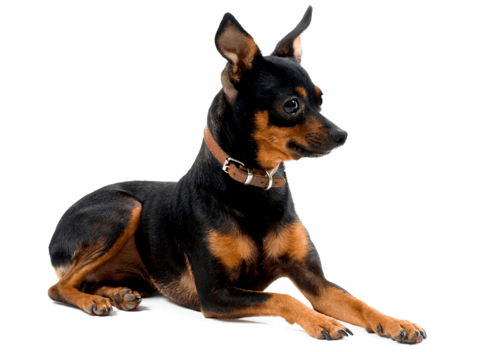 Miniature Pinscher sitting ona white background