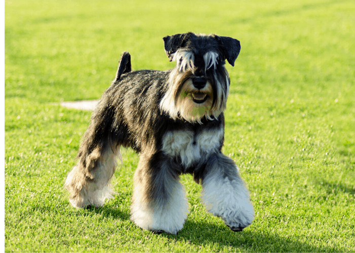 Miniature Schnauzer standing on the lawn