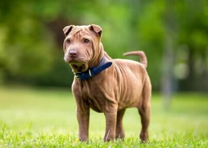 Miniature Shar-pei with blue collar standing on the lawn