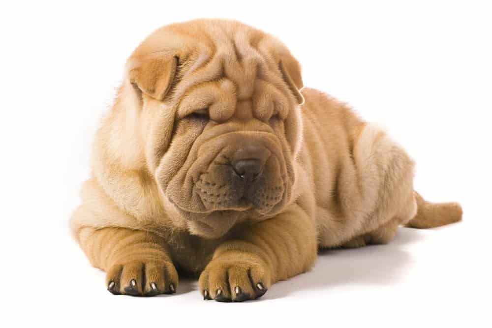 Miniature Sharpei dog on white background