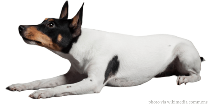 Miniature fox terrier dog lying lying on a white background