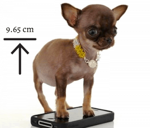 Miracle Milly, the smallest dog
