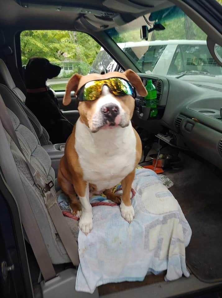 An American Pit Bull terrier with sunglasses inside a car.