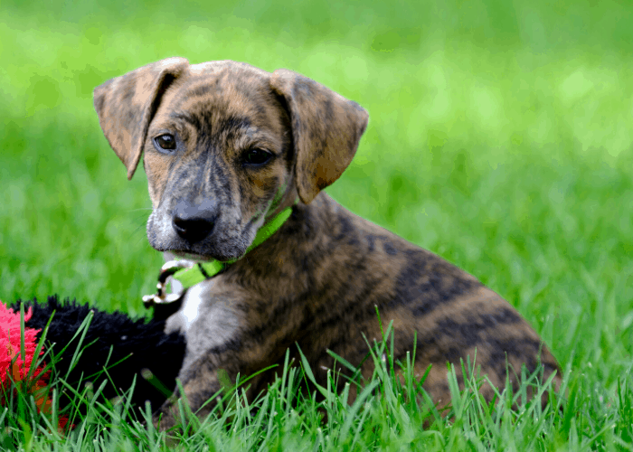 Mountain Cur puppy playing on the green grass