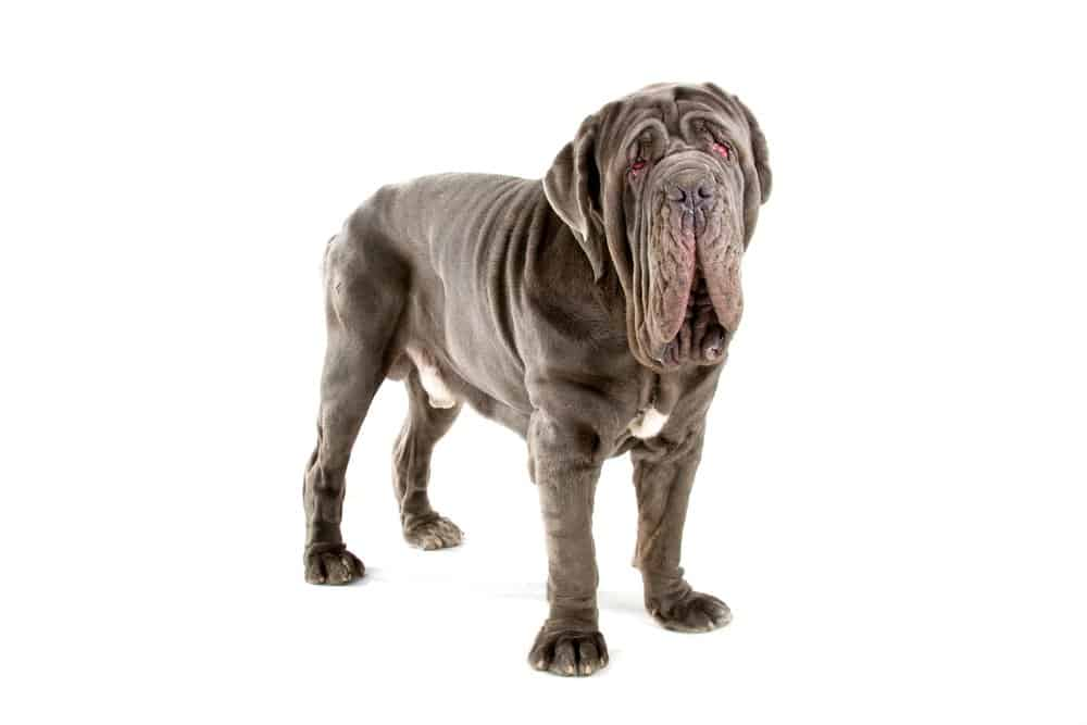 Neopolitan Mastiff Photographed against a white background