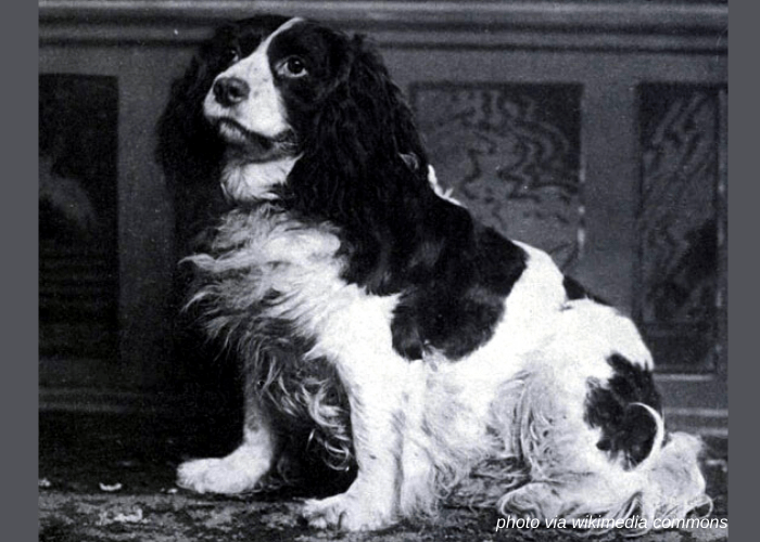 Norfolk Spaniel vintage photo
