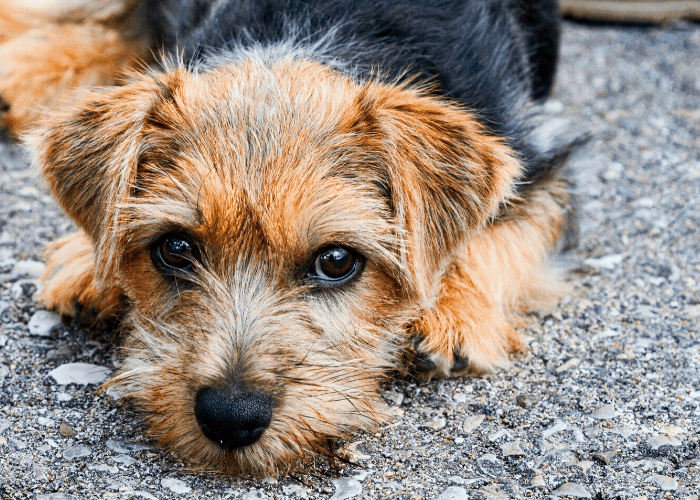 Norfolk Terrier lying on the ground