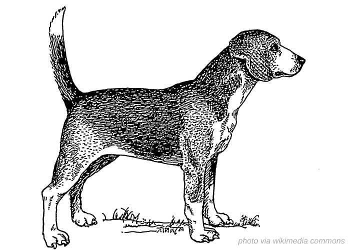 North Country Beagle vintage drawing