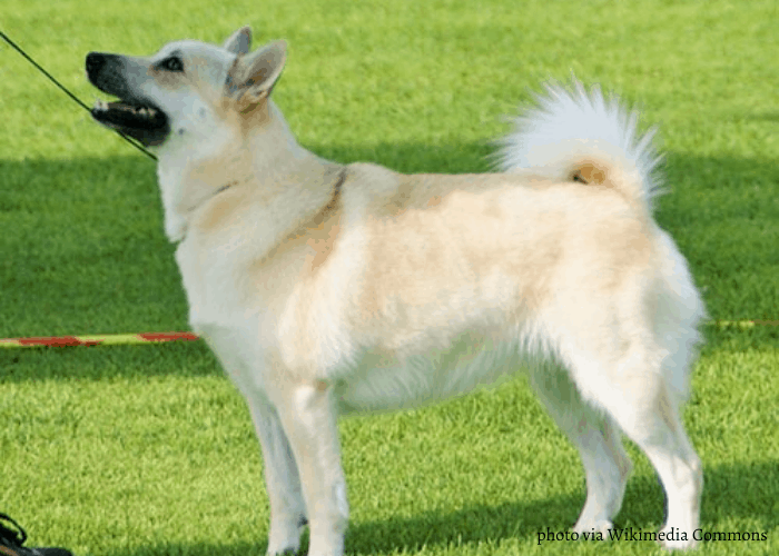 Norwegian Buhund standing on the lawn and looking up