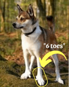 Norwegian Lundehund showing its 6 toes