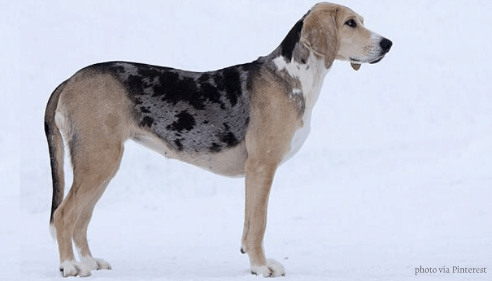 Norwegian hound standing in the icy road
