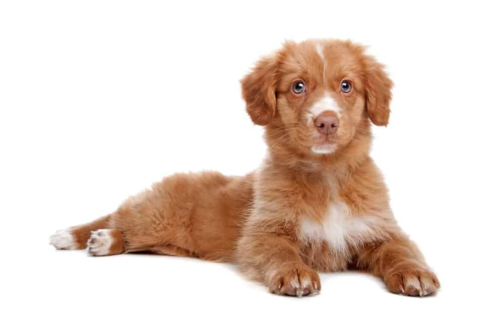 Nova Scotia Duck Tolling Retriever puppy photographed on white background