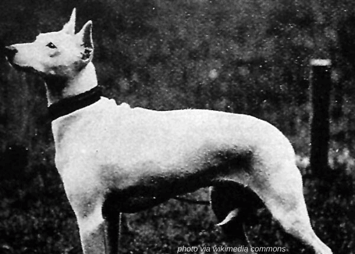Old English Terrier