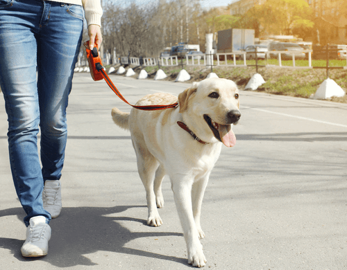 Labrador Retriever Temperament Owner And Dog Walking In The City