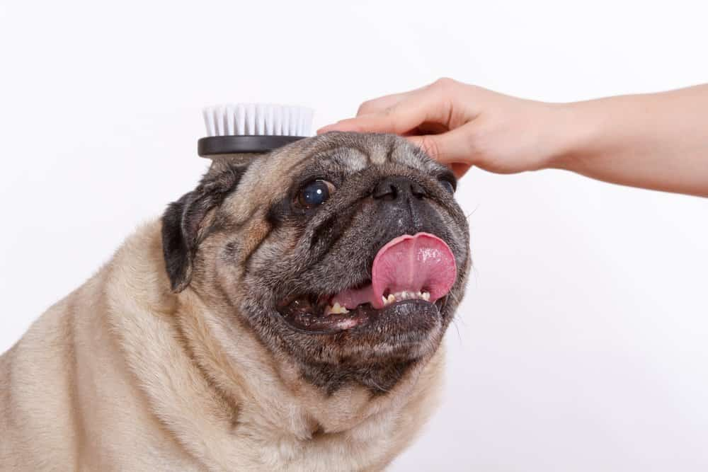 Owner brushing a pug's coat