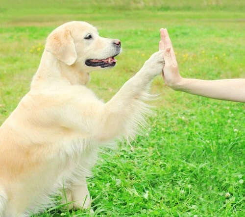 Owner training a Golden Retriever dog on grass in park, giving paw