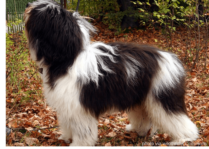 POLISH LOWLAND SHEEPDOG in the backyard