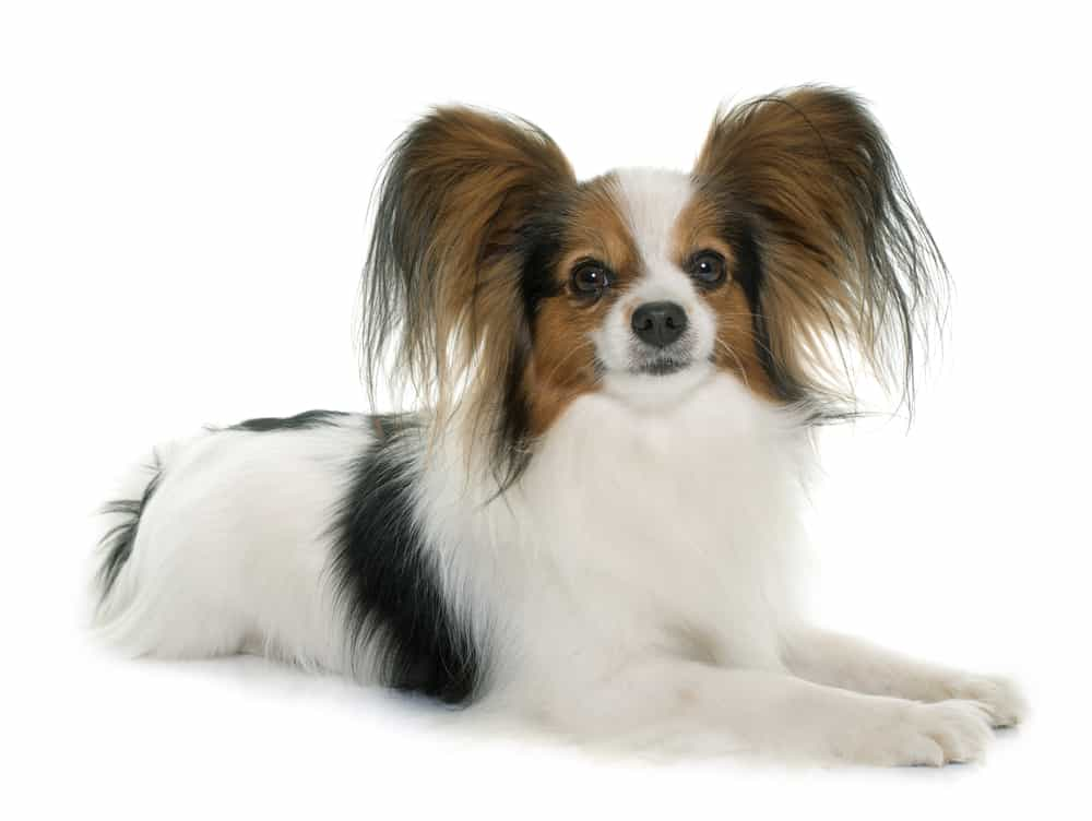 Papillon dog photo taken on white background
