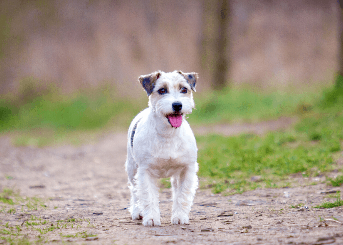 Parson Russell Terrier in the park