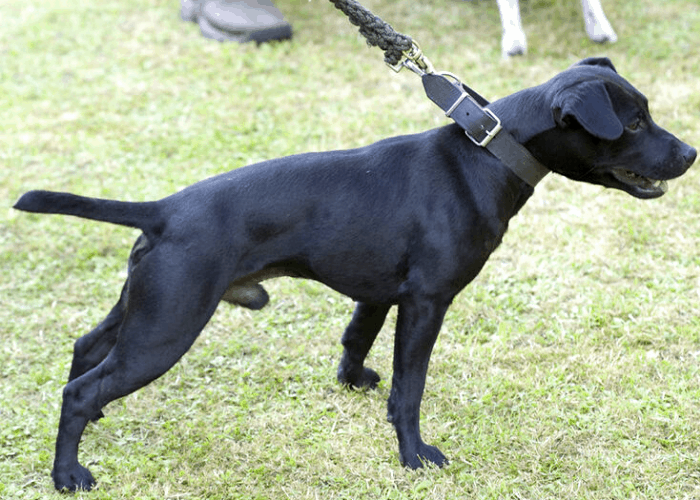 Patterdale Terrier on leash at the park