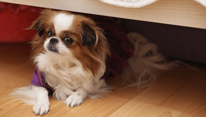 Pekingese under the bed