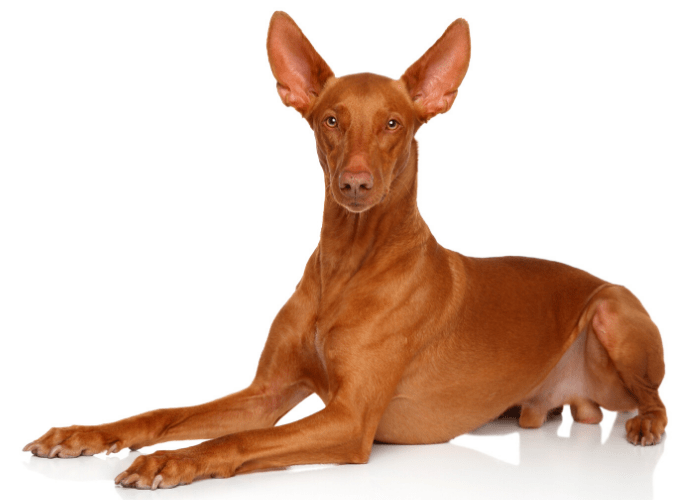 Pharaoh Hounds sitting on a white background