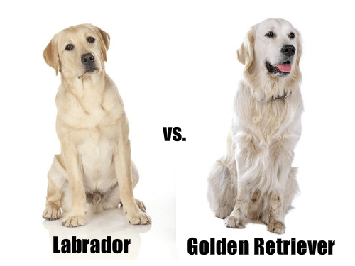 Labrador And A Golden Retriever
