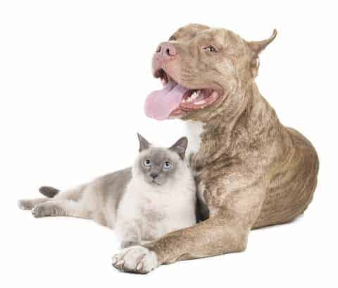 pit bull and a cat on white background