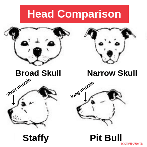 Pit Bull vs Staffy head Comparison