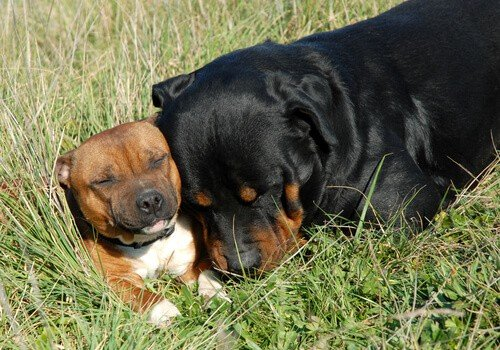 Pit bull and rottweiler chilling out in the sun
