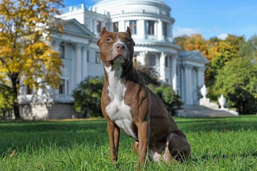 Will a pit bull protect its owner and property image.