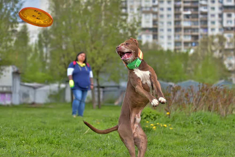 Pit bull terrier jumps, catches plate in the air