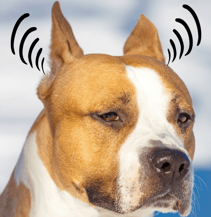 Pit bull with ear sound waves